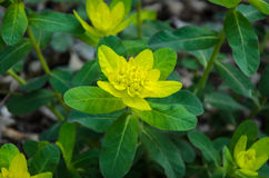 Euphorbia polychroma. Flower close up Royalty Free Stock Images