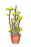 Euphorbia Stock Photos
