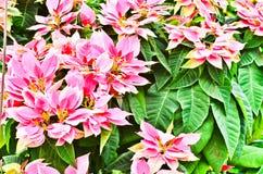 Euphorbia pulcherima Stock Images