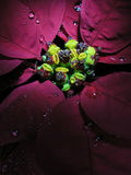 Euphorbia pulcherrima. Beautiful plant painted with light Royalty Free Stock Image