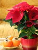 Euphorbia Pulcherrima Stock Images