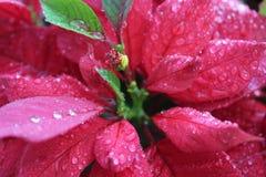 Euphorbia pulcherrima Immagini Stock