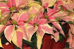 Euphorbia pulcherrima `Marble Early Twilight` Stock Image