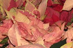 Euphorbia pulcherrima `Marble Early Twilight` Royalty Free Stock Photo