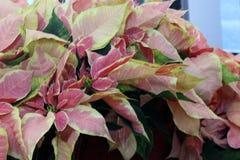 Euphorbia pulcherrima `Pink`, Stock Photography