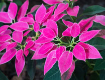 Euphorbia pulcherrima plant or poinsetia as decoration Royalty Free Stock Photography