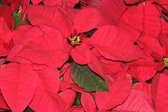 Euphorbia pulcherrima `Red` Stock Images