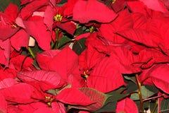 Euphorbia pulcherrima `Red` Stock Photography