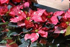 Euphorbia pulcherrima `Red Glitter` Stock Image