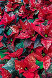 Euphorbia Pulcherrima red Royalty Free Stock Image