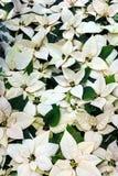 Euphorbia Pulcherrima white Stock Image