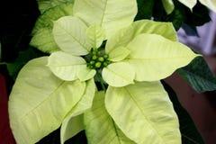 Euphorbia pulcherrima `Yellow Snow` Stock Photography