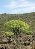 Euphorbia regis-jubae Royalty Free Stock Photography