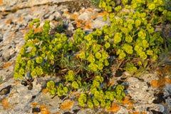 Euphorbia serrata. Crimea. Stock Photos