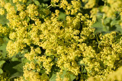 Euphorbia spinosa flower Royalty Free Stock Images