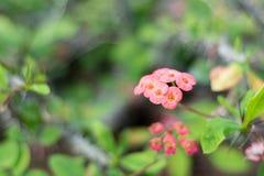 Euphorbia splendens. Four quarters of bloom, in the northern hemisphere winter flowering height Stock Photos