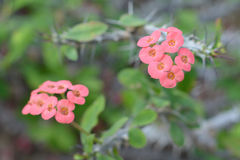 Euphorbia splendens. Four quarters of bloom, in the northern hemisphere winter flowering height Royalty Free Stock Image