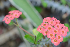 Euphorbia splendens. Four quarters of bloom, in the northern hemisphere winter flowering height Royalty Free Stock Photography
