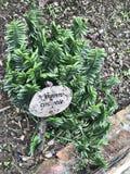 Euphorbia tithymaloides or Pedilanthus tithymaloides or Zigzag plant or Devil`s backbone or Redbird cactus plant. stock photography