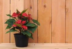 Euphorbia tree Stock Image