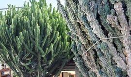 Euphorbia trees Stock Photo