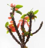 Euphorbia on white background Stock Photos