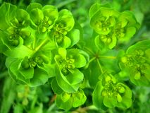 Euphorbia wild flower background wallpaper fine art prints royalty free stock image