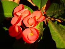 Euphorbiablommor Fotografering för Bildbyråer