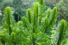 euphorbiaceae Image stock