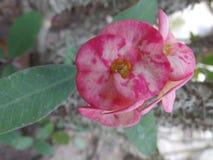 Euphorbiaceaebloemen royalty-vrije stock fotografie