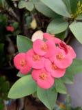 Euphorbiaceaen blommar på krukan Royaltyfri Fotografi