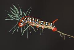 euphorbiae καμπιών hawkmoth hyles Στοκ Φωτογραφίες