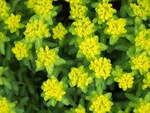 Euphorbiaflavicoma Royaltyfri Foto