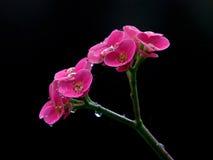 euphorbiamilii Royaltyfria Bilder