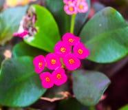 Euphorbiamilii eller krona av taggblomman Arkivbilder