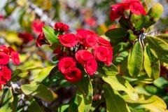 Euphorbiamiliien kallade också den kristna taggen arkivbild