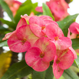 Euphorbiamilli Desmoul Arkivbild