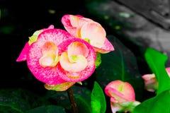 Euphorbiamilli Desmoul fotografering för bildbyråer