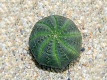 Euphorbiaobesa som växer i sand Royaltyfria Bilder