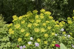 Euphorbiapalustris Fotografering för Bildbyråer