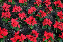 EuphorbiaPulcherrima_julestjerne blommor royaltyfri bild