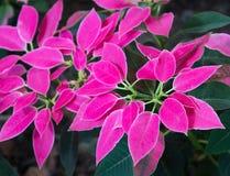 Euphorbiapulcherrimaväxt eller poinsetia som garnering royaltyfri fotografi