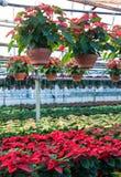 Euphorbias Arkivfoto