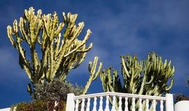 Euphorbias dietro una parete bianca Fotografia Stock Libera da Diritti