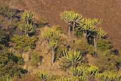Euphorbias op een zonovergoten helling Royalty-vrije Stock Foto