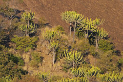 Euphorbias on a sunlit hillside Royalty Free Stock Photo
