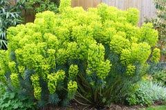 Euphorbiaväxt Arkivfoto