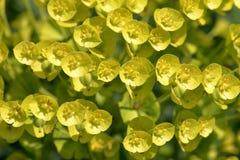 Euphorbiengummi characias Lizenzfreies Stockbild