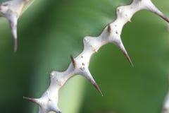 Euphorbiengummi cooperi Lizenzfreie Stockfotografie