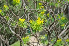 Euphorbiengummi dendroides Strauch stockfoto